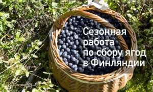Сезонная работа в Финляндии по сбору ягод в 2020 году